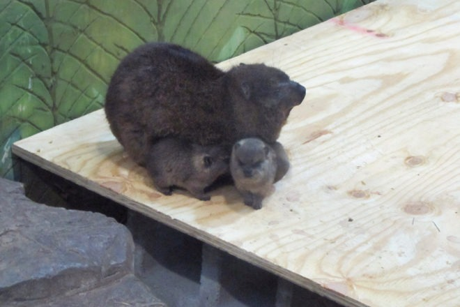 Rock Hyrax and her two babies