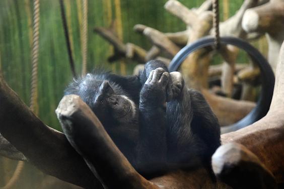 chimp relaxing