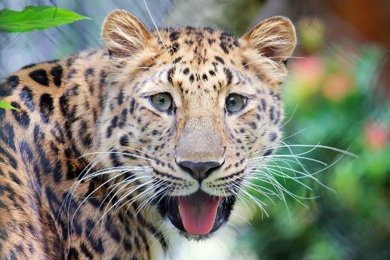 cheetah with tongue out