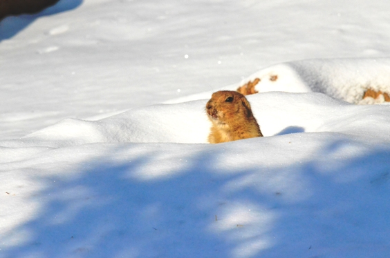 prairie dog in snow
