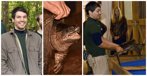 Zoo keepers holding snapping turtle