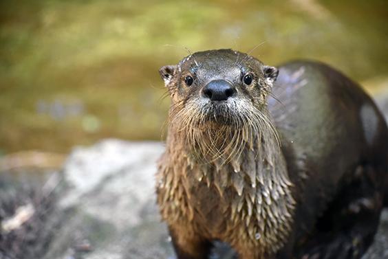 wet otter