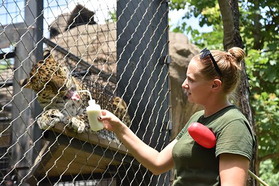 zoo keeper feeding cheetah