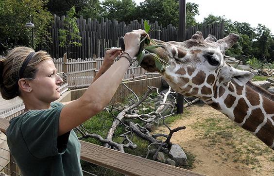 zookeeper feeding giraffe