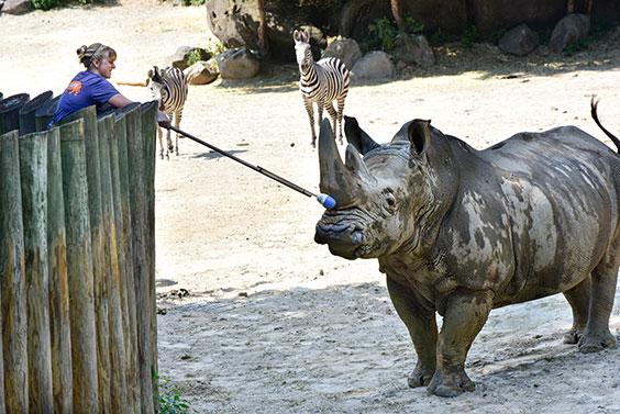 zoo keeper cleaning rhino