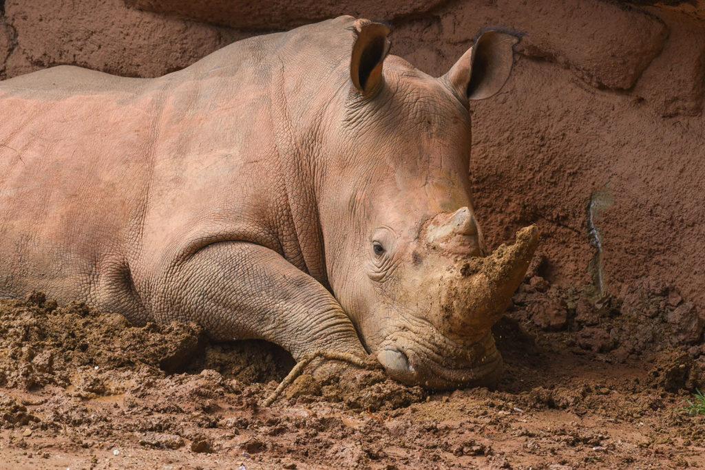 rhino wallowing in mud.