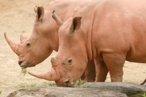 two rhinos standing.