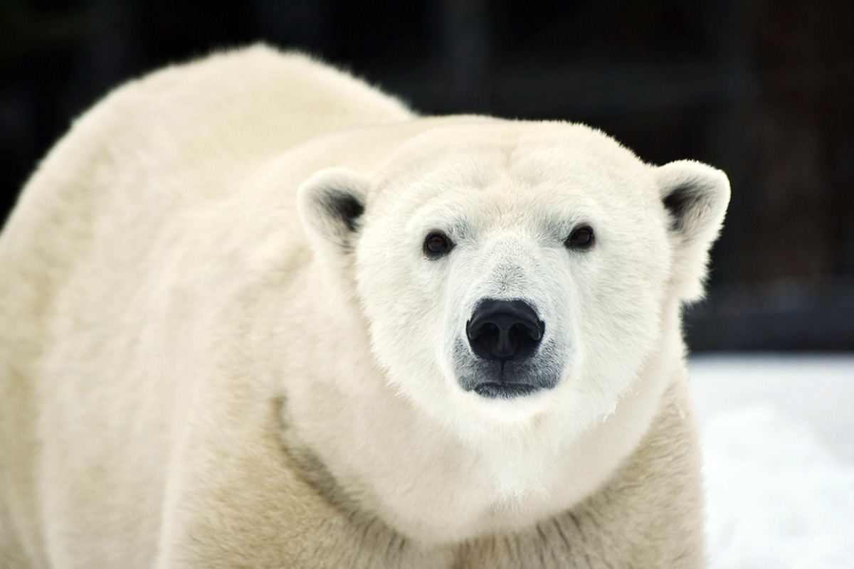 Polar Bear Conservation At The Maryland Zoo