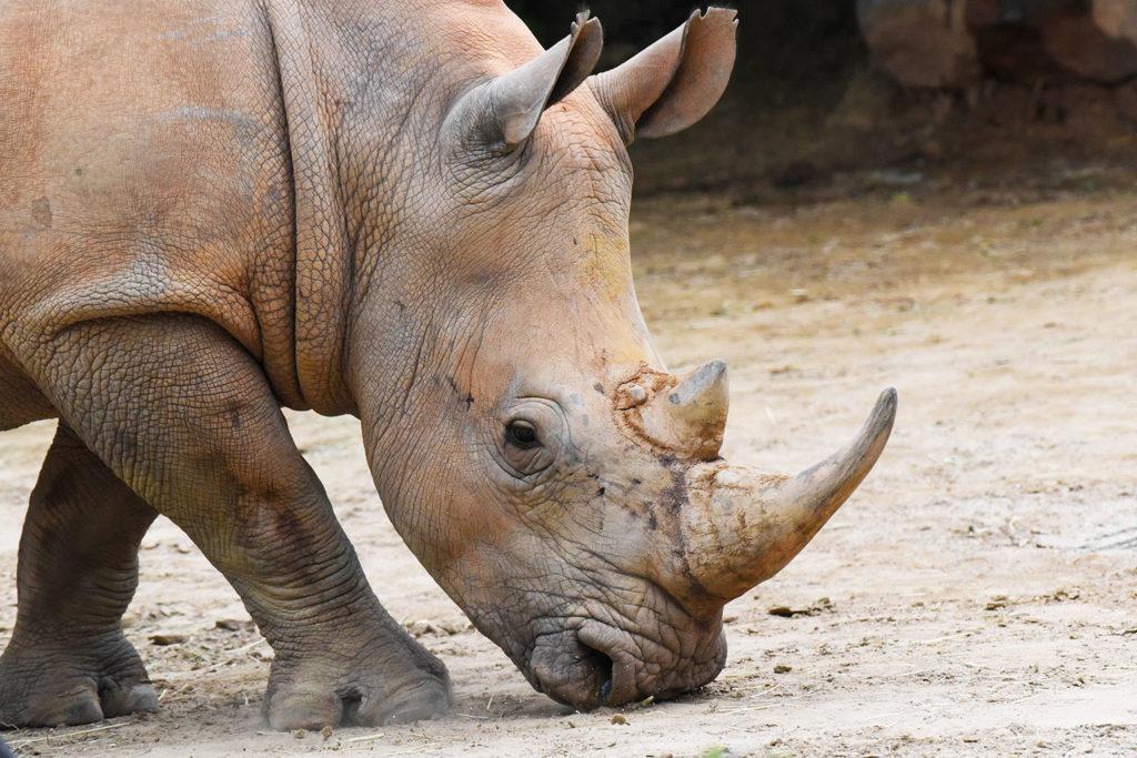 rhino with head down