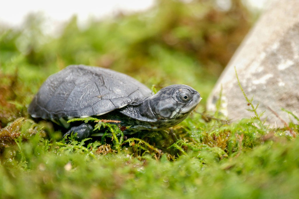 African Mud Turtle