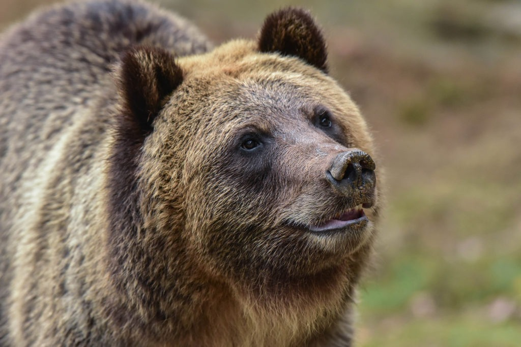 Brown Bear | The Maryland Zoo on