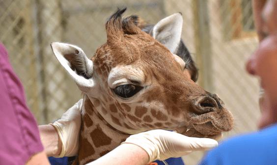 giraffe being treated