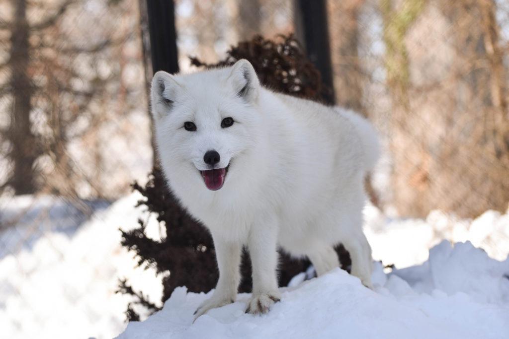 Luna the arctic fox
