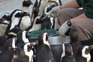 a penguin feeding