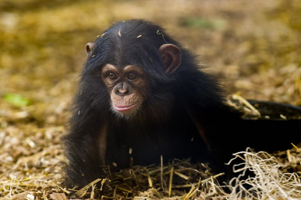 Baby chimpanzee Maisie on the ground. background