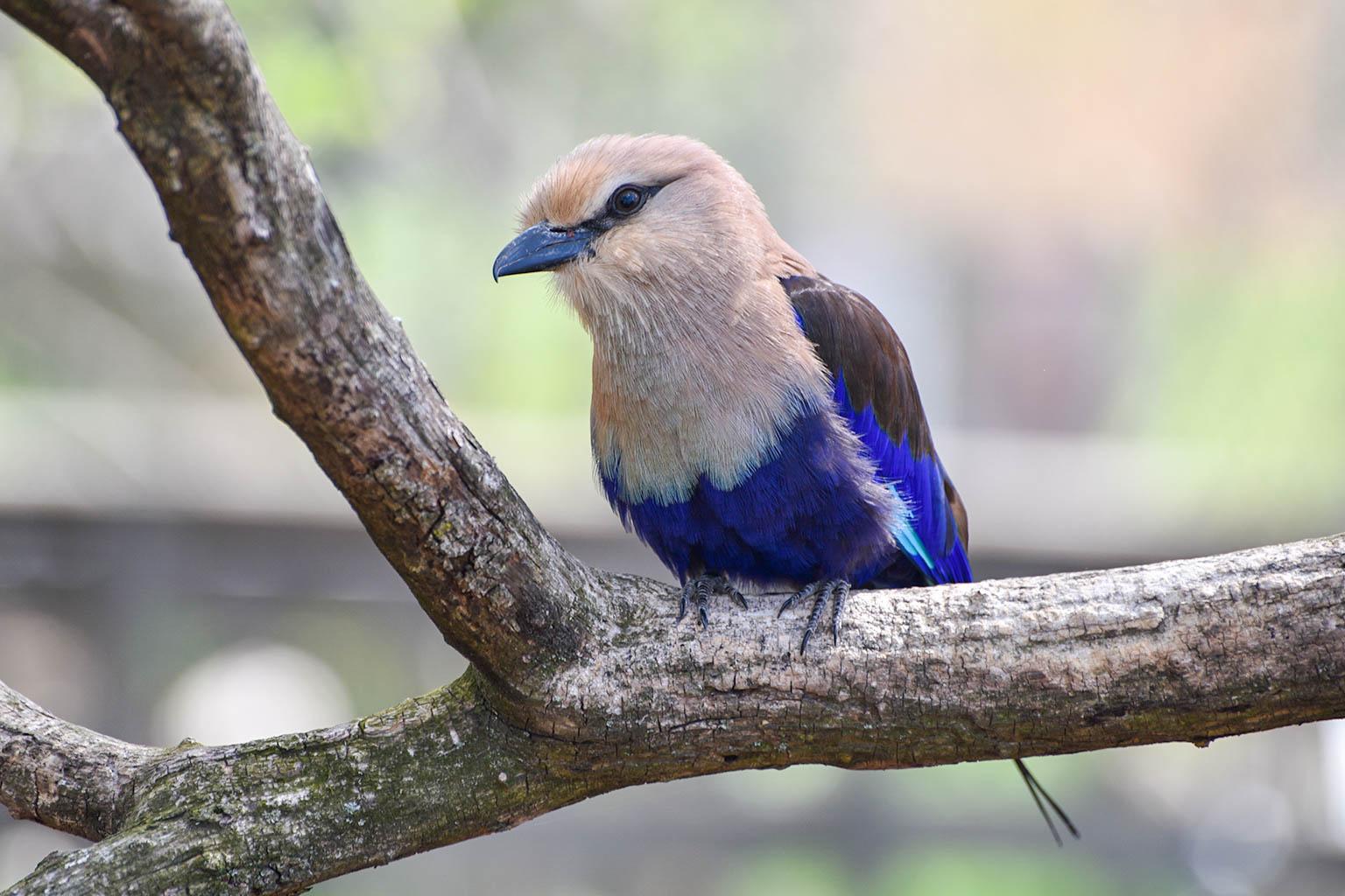 Blue Birds Sitting On Branch Photo License Plate