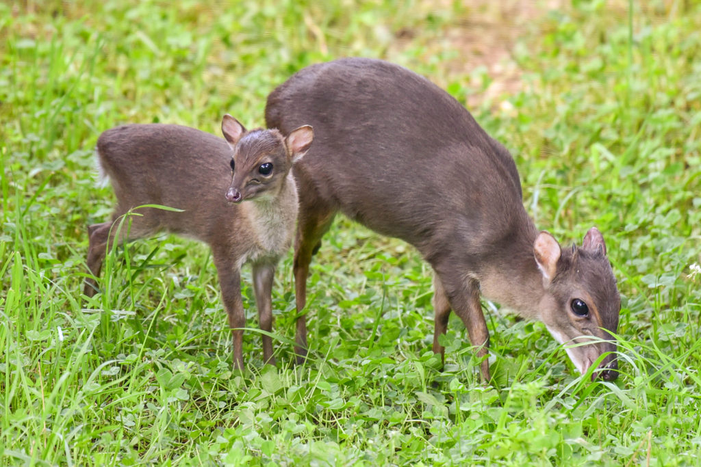 blue duiker with calf background