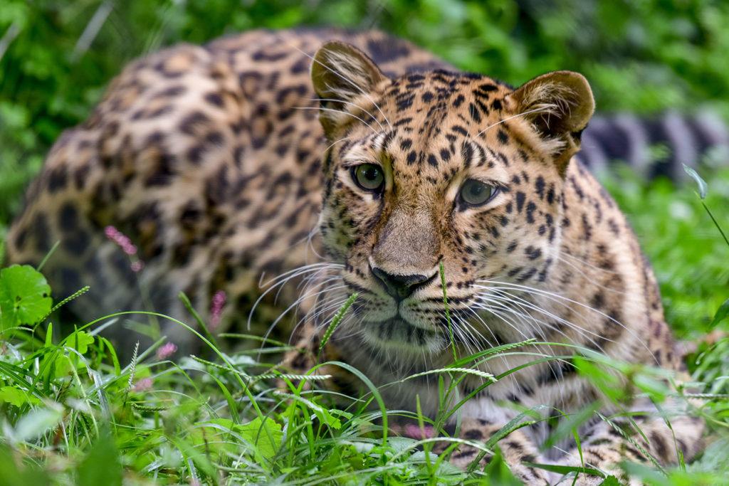 female amur leopard sitting in grass. background