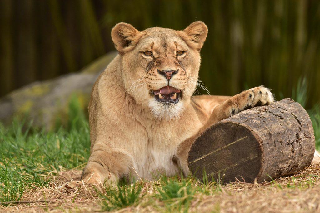 woman lion