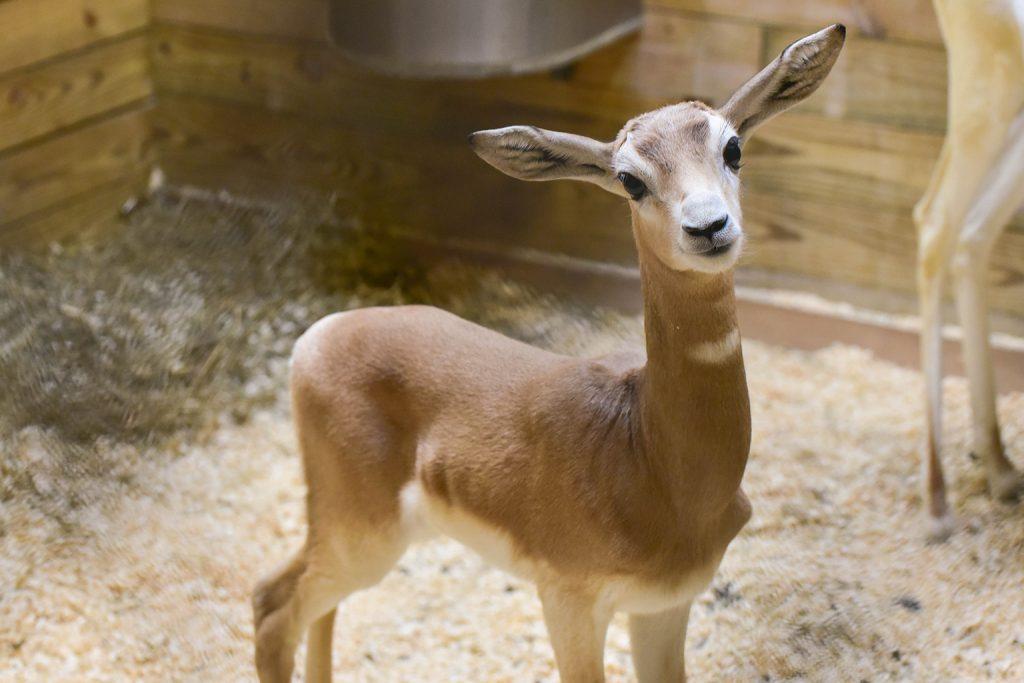 addra gazelle calf