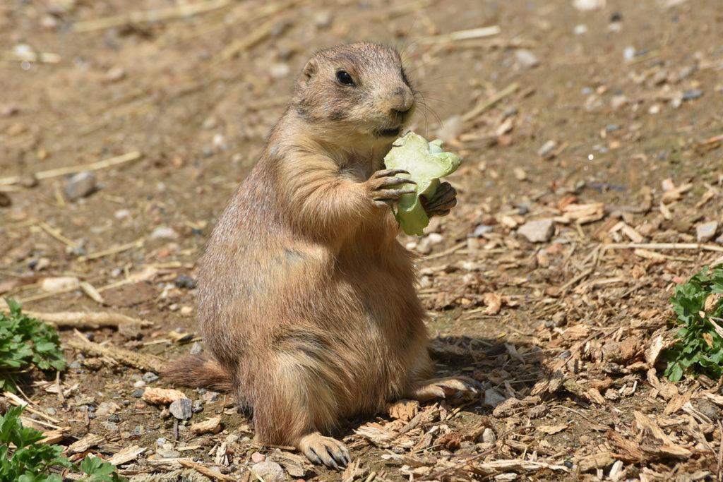 prairie dog eating background