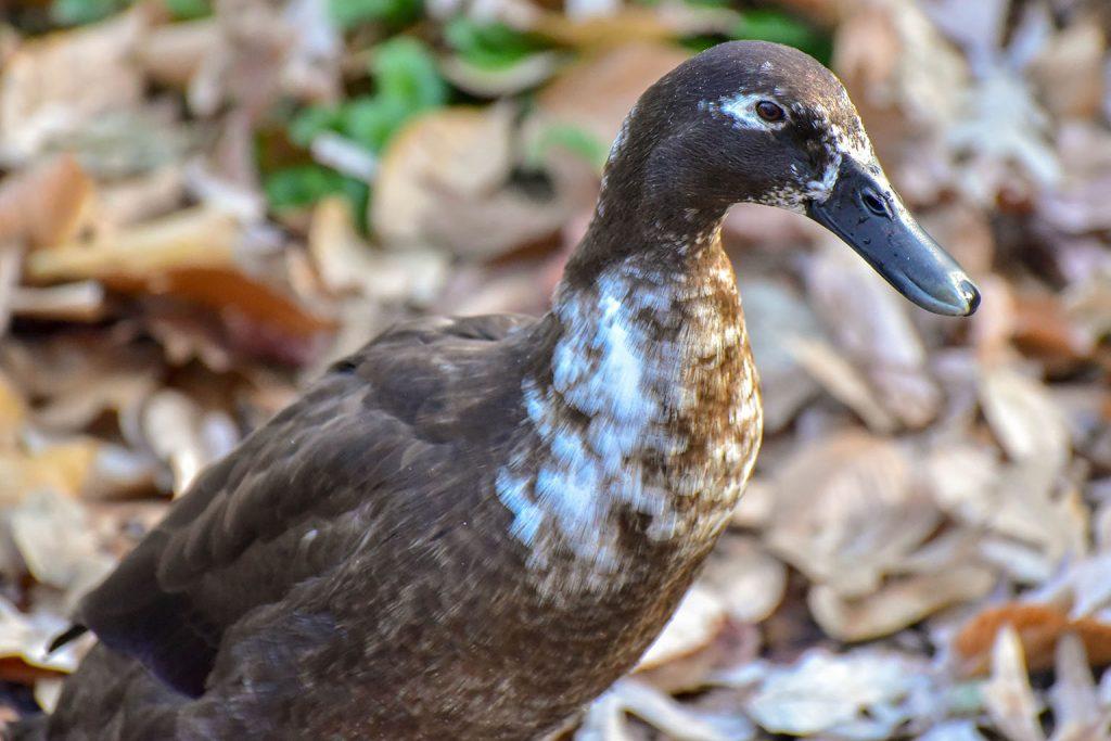 runner duck background
