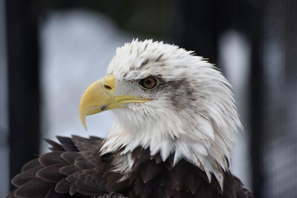 Bald Eagle The Maryland Zoo