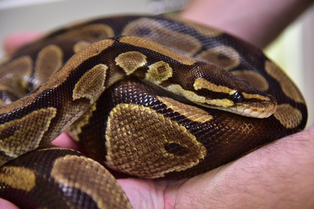 Ball Python   The Maryland Zoo