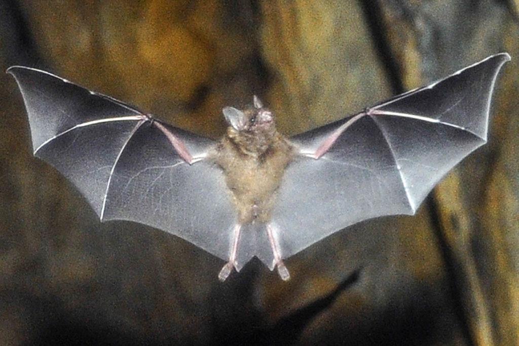 short tailed bat