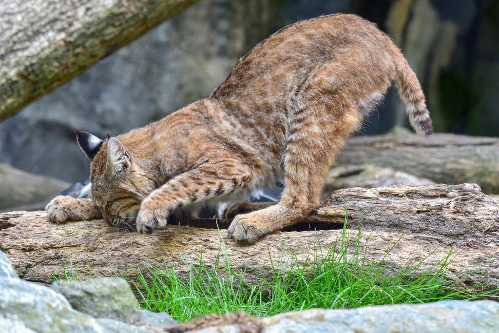 bobcat scratching wood