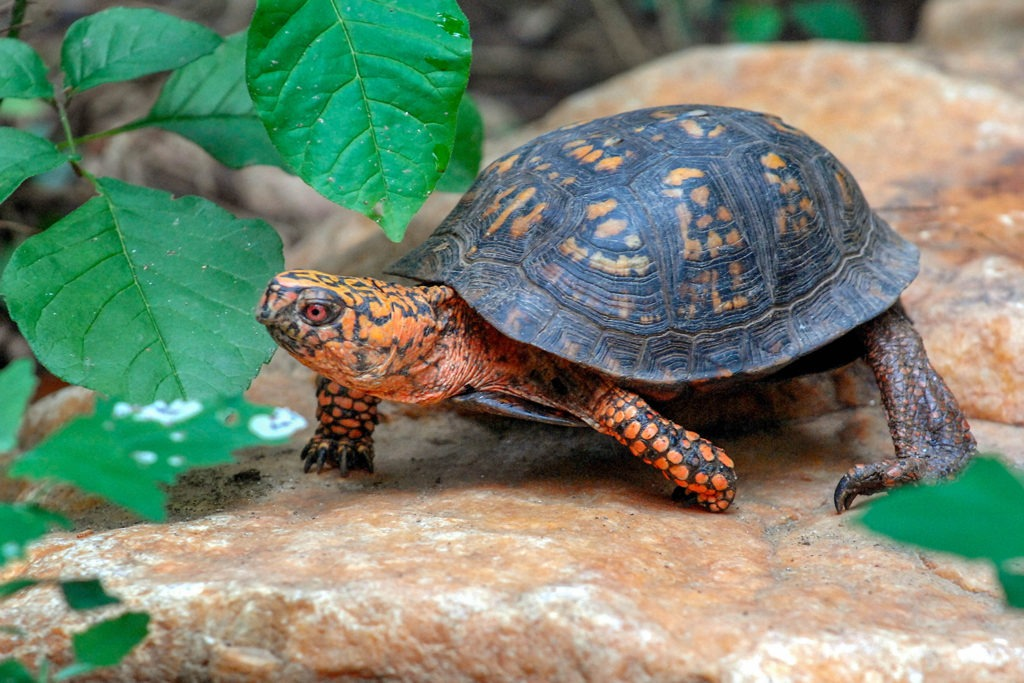 Eastern Box Turtle | The Maryland Zoo