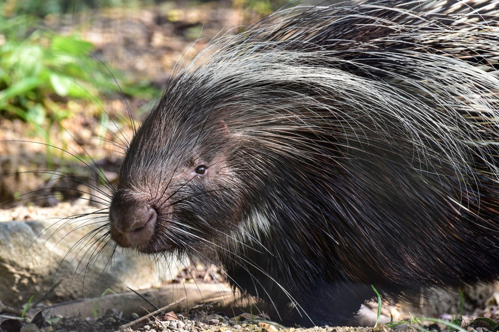 Love hurts: Especially when you're a porcupine in Upstate NY during the  fall - newyorkupstate.com | 683x1024