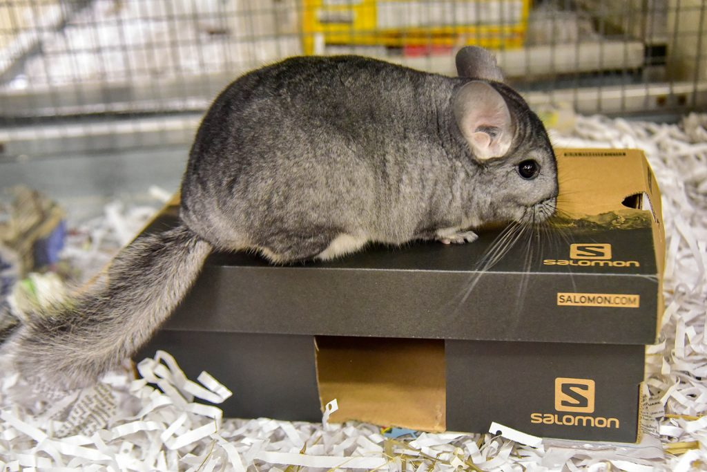 chinchilla on cardboard box