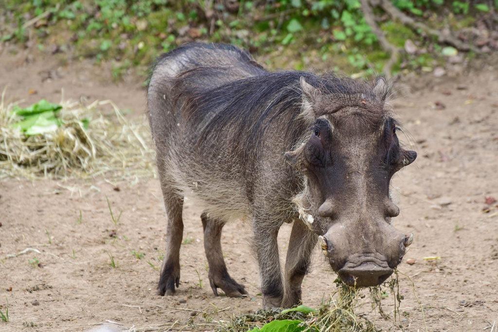 common warthog the maryland zoo