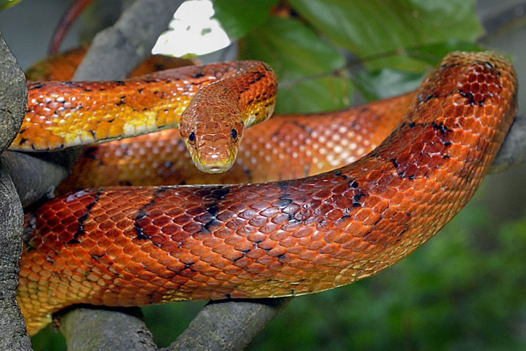 Corn Snake | The Maryland Zoo
