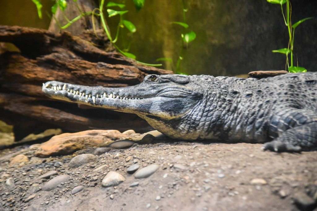 african slender snouted croc
