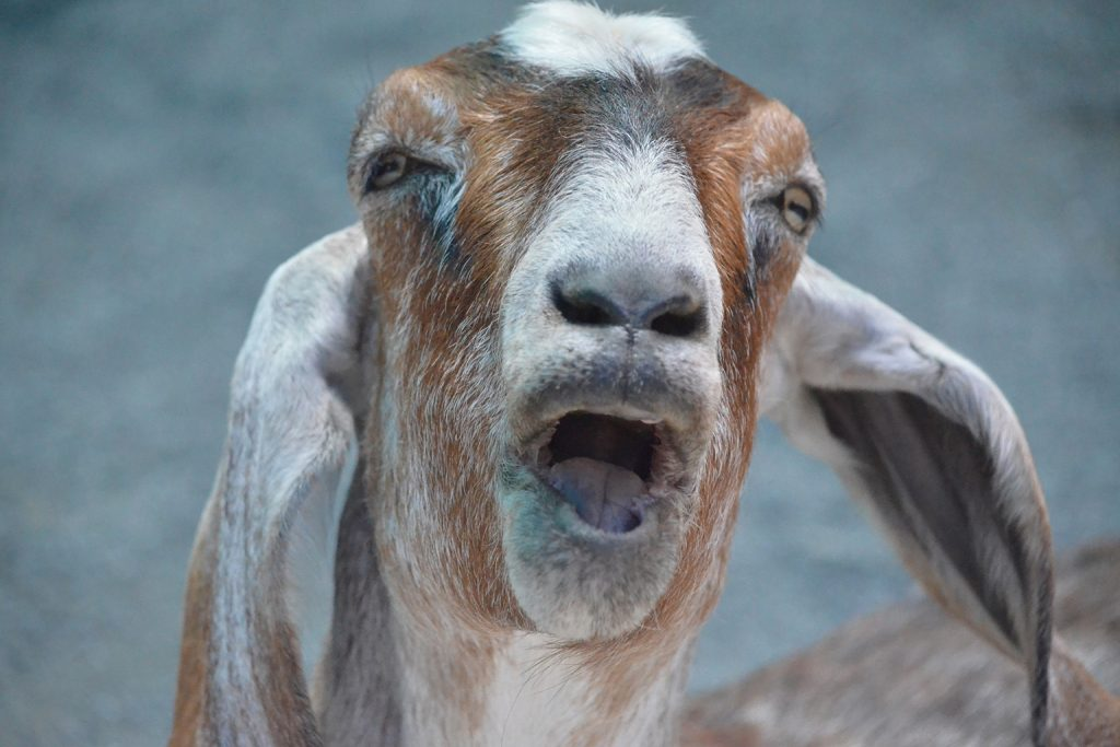 close up on goat face