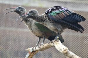 hadaba ibis