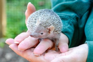lesser hedgehog