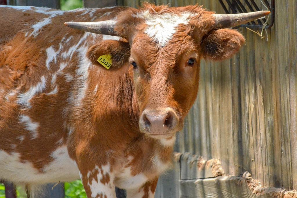 miniature texas longhorn the maryland zoo