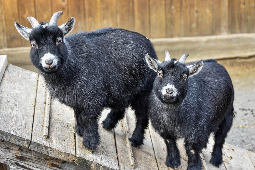 Goat background