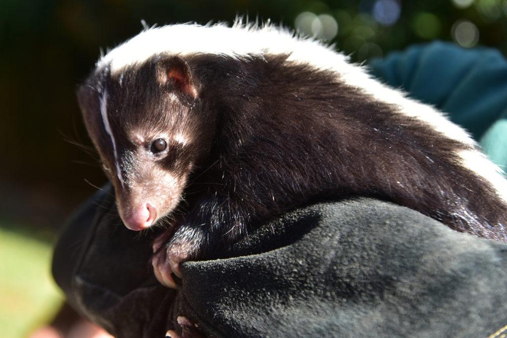 skunk background