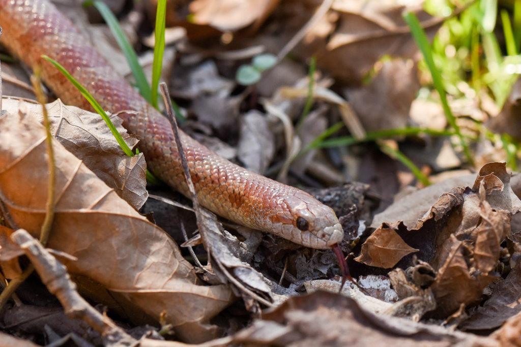 Mole king snake.