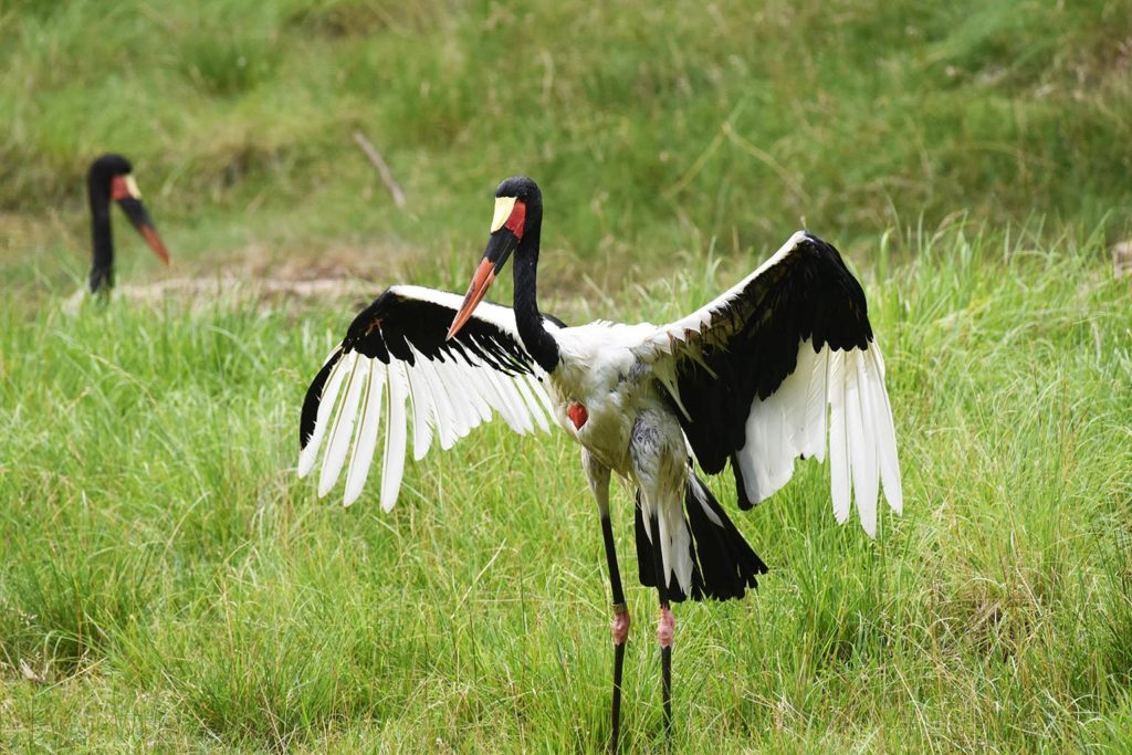 Staddle billed stork with wings spread.