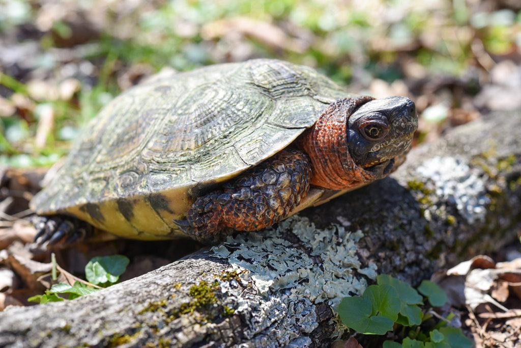 Wood turtle. background