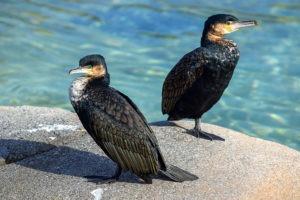 two cormorant birds