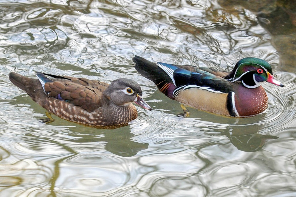 two wood ducks male and female