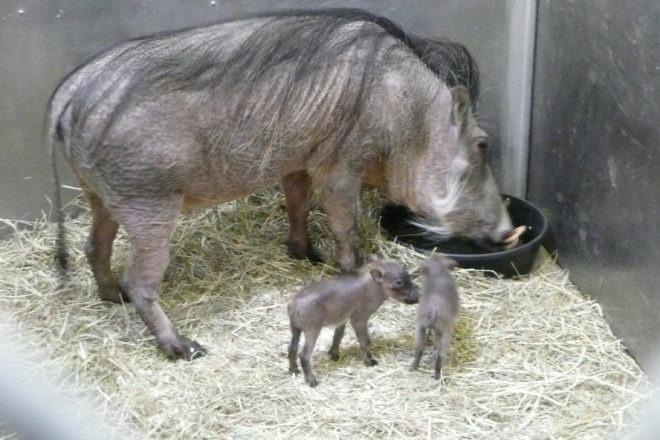 Wathog and her piglets
