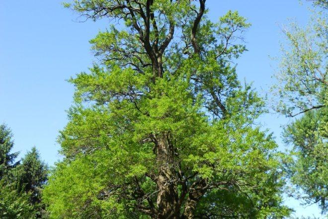 Lard osage orange tree