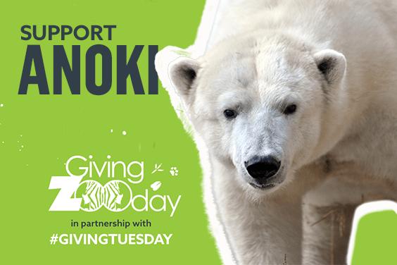 Support Anoki the polar bear